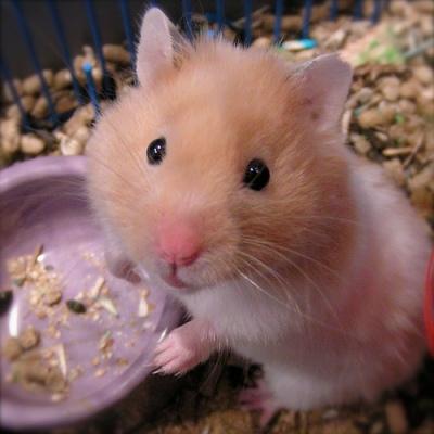 cute little hamsters photos - photo #28